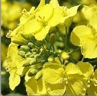 oi-rapeseeds1