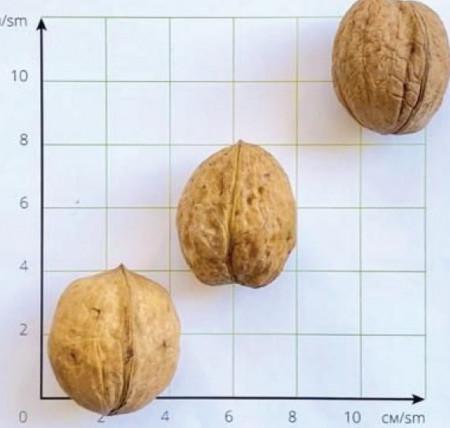 fo-walnut21
