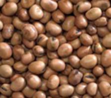 pu-faba-beans2s