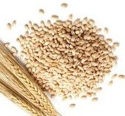 ce-barley1
