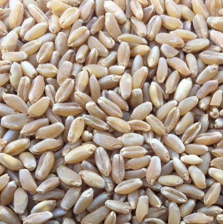 ce-wheat-durum2