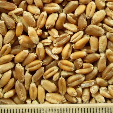 ce-wheat2